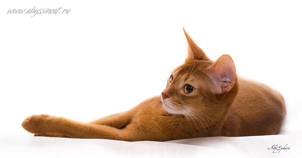 Лучшая фотография с сайта AbySphere - абиссинские кошки и фотосъемка животных